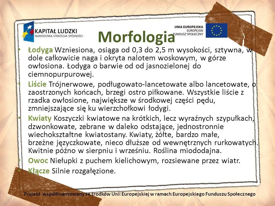 Morfologia Łodyga Wzniesiona, osiąga od 0,3 do 2,5 m wysokości, sztywna, w dole całkowicie naga i okryta nalotem woskowym, w górze owłosiona. Łodyga o