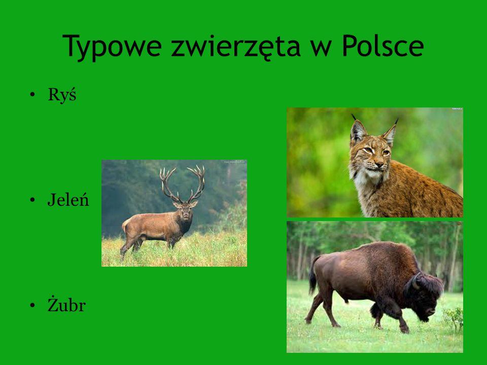 Typowe zwierzęta w Polsce Ryś Jeleń Żubr