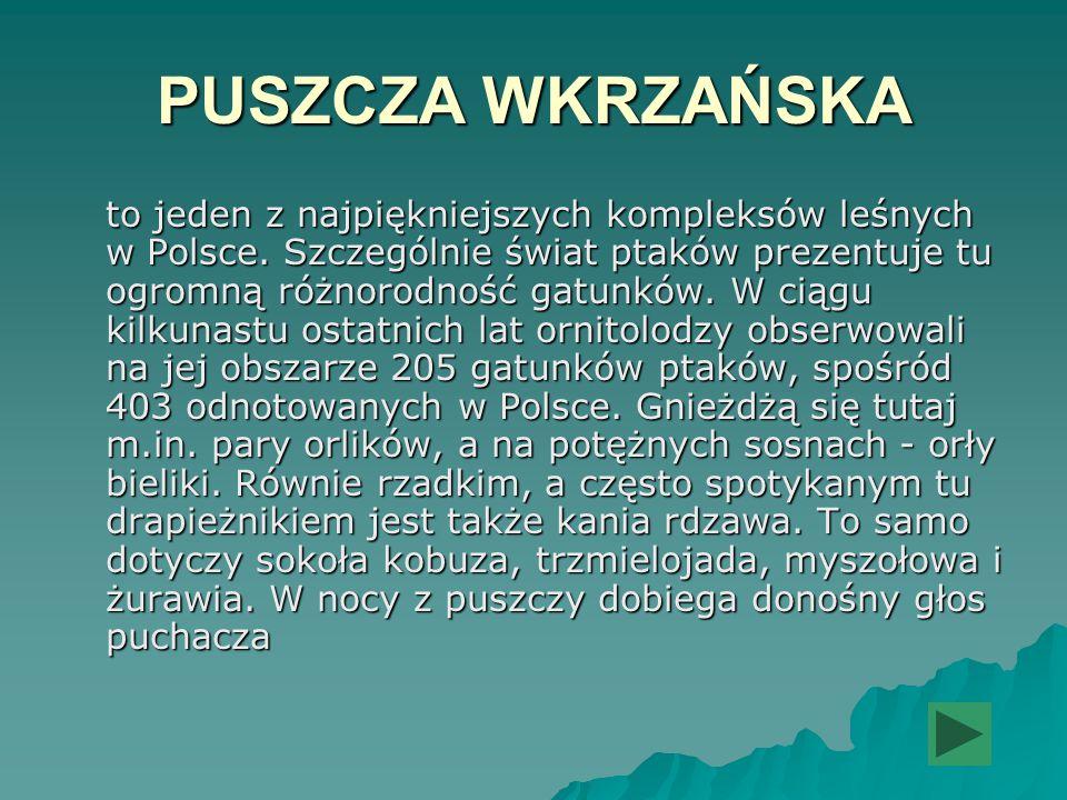 PUSZCZA WKRZAŃSKA to jeden z najpiękniejszych kompleksów leśnych w Polsce. Szczególnie świat ptaków prezentuje tu ogromną różnorodność gatunków. W cią