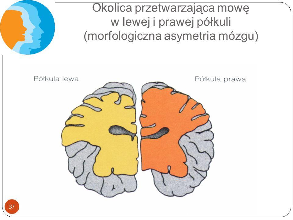 Okolica przetwarzająca mowę w lewej i prawej półkuli (morfologiczna asymetria mózgu) 37