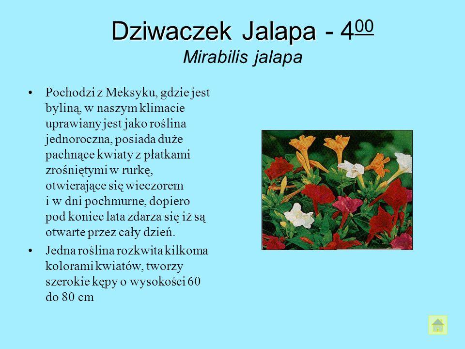 Dziwaczek Jalapa Dziwaczek Jalapa - 4 00 Mirabilis jalapa Pochodzi z Meksyku, gdzie jest byliną, w naszym klimacie uprawiany jest jako roślina jednoro