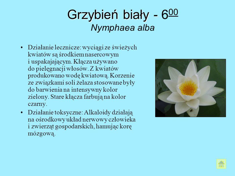 Grzybień biały - Grzybień biały - 6 00 Nymphaea alba Działanie lecznicze: wyciągi ze świeżych kwiatów są środkiem nasercowym i uspakajającym. Kłącza u