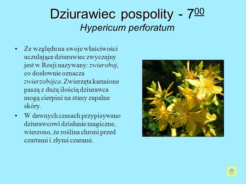 Dziurawiec pospolity - Dziurawiec pospolity - 7 00 Hypericum perforatum Ze względu na swoje właściwości uczulające dziurawiec zwyczajny jest w Rosji n