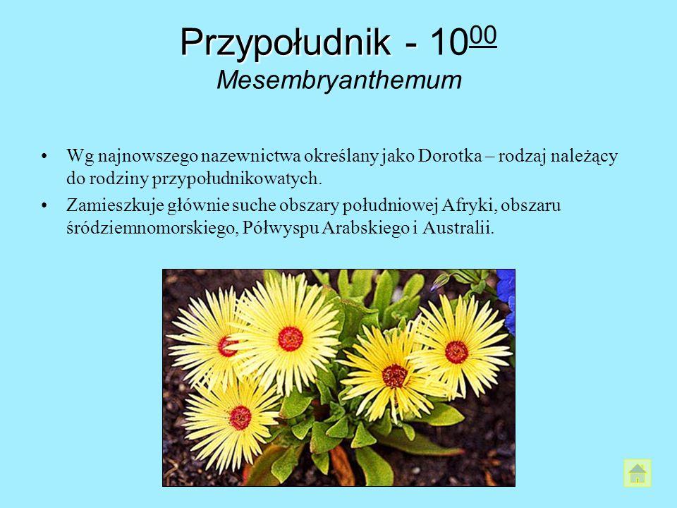 Przypołudnik - Przypołudnik - 10 00 Mesembryanthemum Wg najnowszego nazewnictwa określany jako Dorotka – rodzaj należący do rodziny przypołudnikowatyc