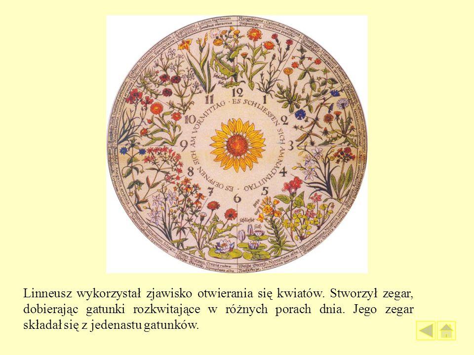 Linneusz wykorzystał zjawisko otwierania się kwiatów. Stworzył zegar, dobierając gatunki rozkwitające w różnych porach dnia. Jego zegar składał się z
