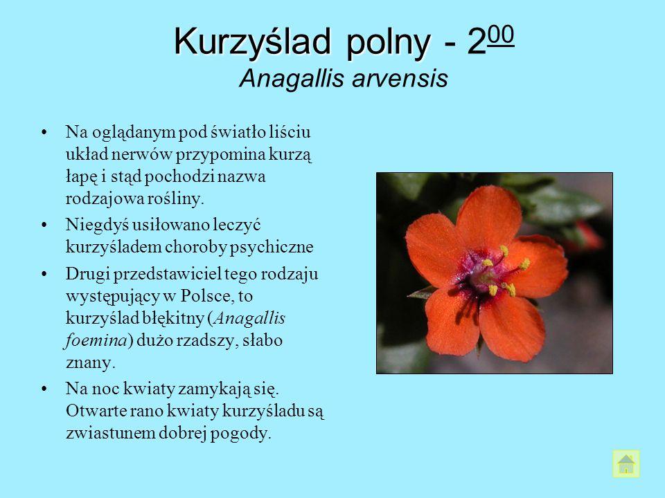 Kurzyślad polny Kurzyślad polny - 2 00 Anagallis arvensis Na oglądanym pod światło liściu układ nerwów przypomina kurzą łapę i stąd pochodzi nazwa rod