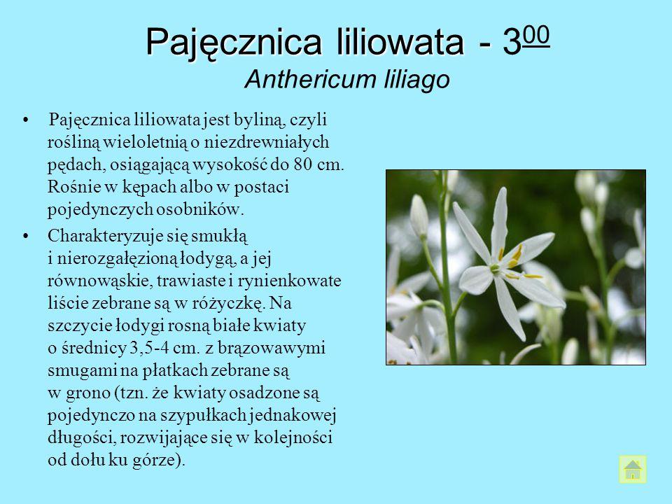 Pajęcznica liliowata - Pajęcznica liliowata - 3 00 Anthericum liliago Pajęcznica liliowata jest byliną, czyli rośliną wieloletnią o niezdrewniałych pę