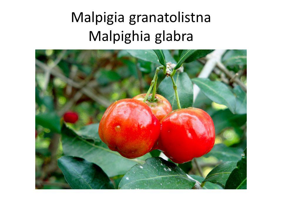 Malpigia granatolistna Malpighia glabra