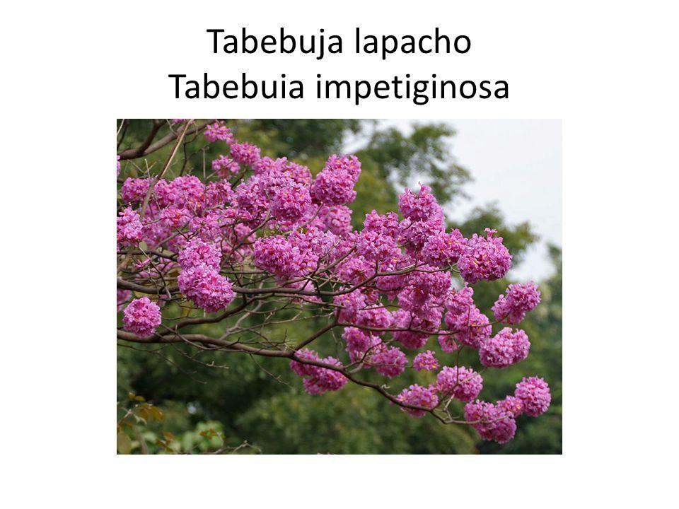 Tabebuja lapacho Tabebuia impetiginosa