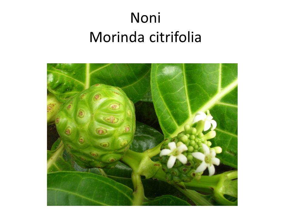 Noni Morinda citrifolia