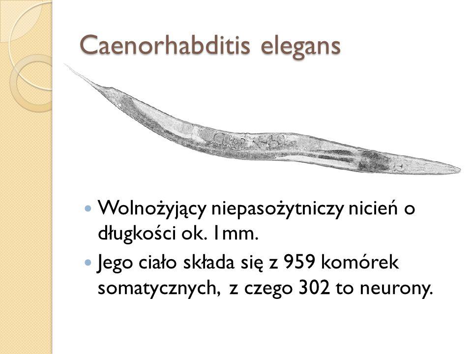 Caenorhabditis elegans Wolnożyjący niepasożytniczy nicień o długkości ok. 1mm. Jego ciało składa się z 959 komórek somatycznych, z czego 302 to neuron