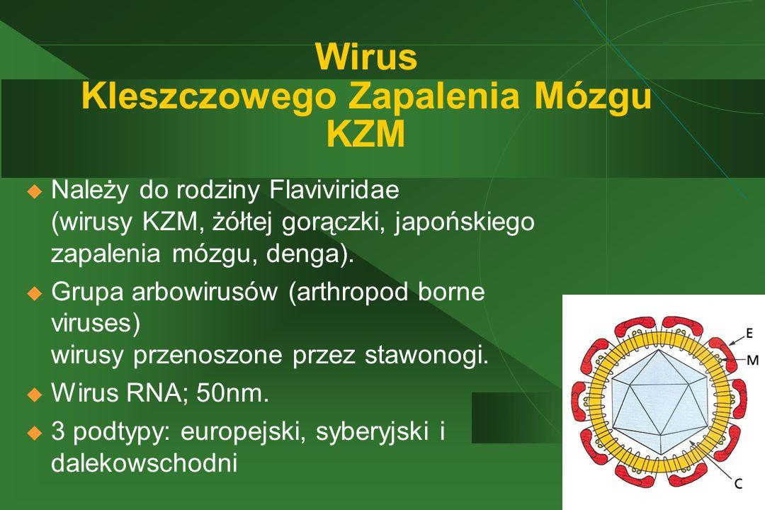 Wirus Kleszczowego Zapalenia Mózgu KZM  Należy do rodziny Flaviviridae (wirusy KZM, żółtej gorączki, japońskiego zapalenia mózgu, denga).  Grupa arb