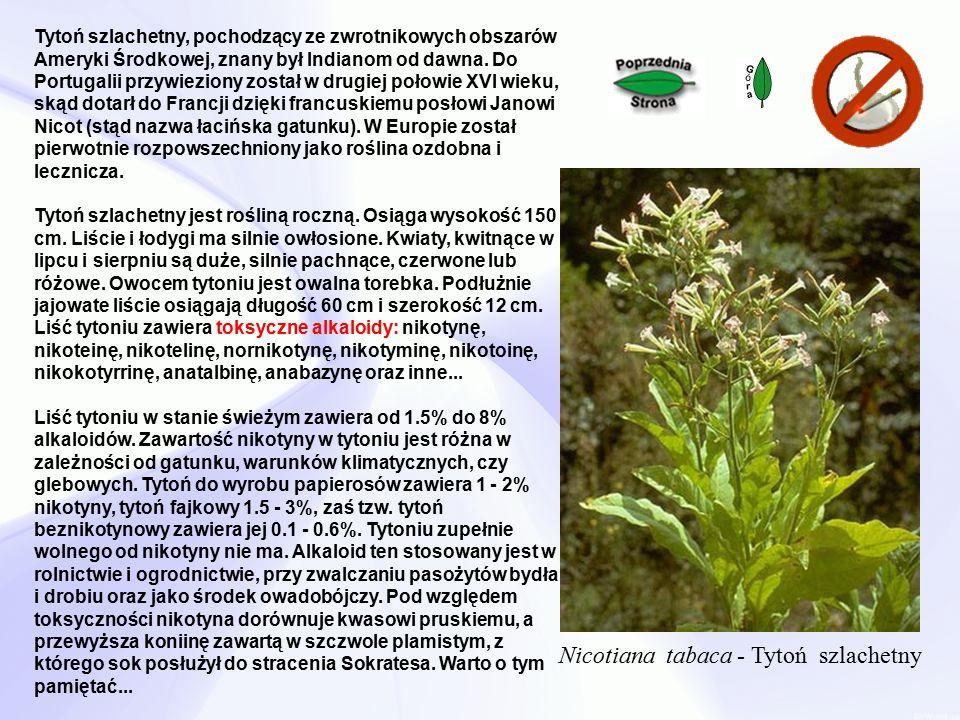Nicotiana tabaca - Tytoń szlachetny Tytoń szlachetny, pochodzący ze zwrotnikowych obszarów Ameryki Środkowej, znany był Indianom od dawna.