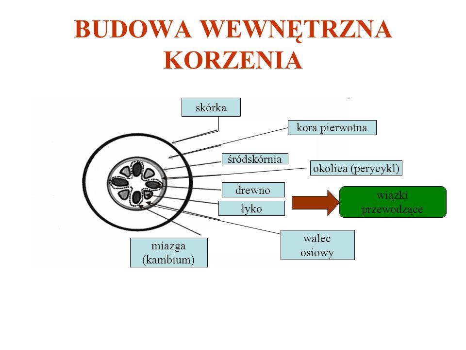 BUDOWA WEWNĘTRZNA KORZENIA miazga (kambium) łyko walec osiowy drewno wiązki przewodzące skórka kora pierwotna okolica (perycykl) śródskórnia