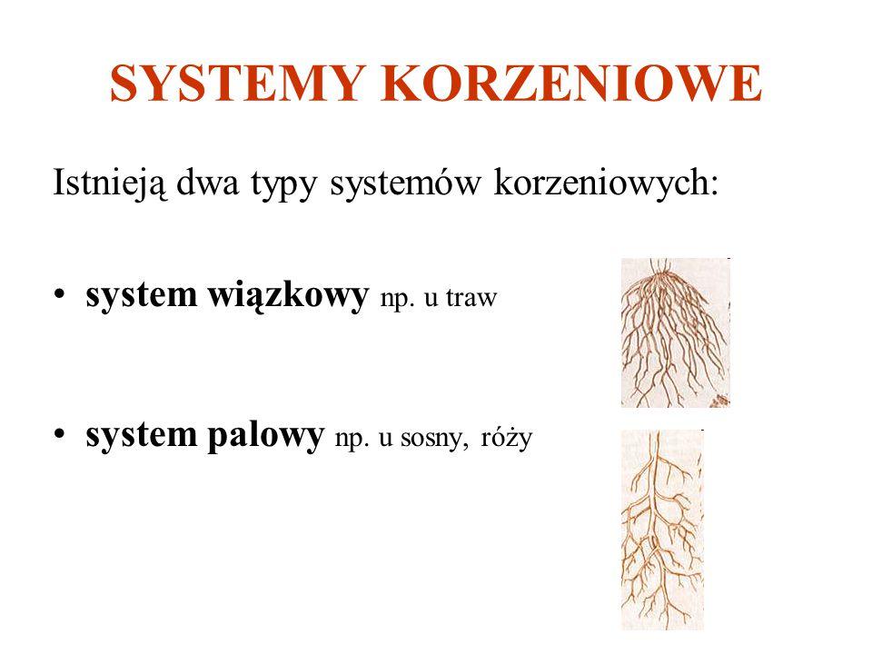 SYSTEMY KORZENIOWE Istnieją dwa typy systemów korzeniowych: system wiązkowy np. u traw system palowy np. u sosny, róży