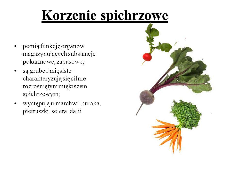 Korzenie spichrzowe pełnią funkcję organów magazynujących substancje pokarmowe, zapasowe; są grube i mięsiste – charakteryzują się silnie rozrośniętym