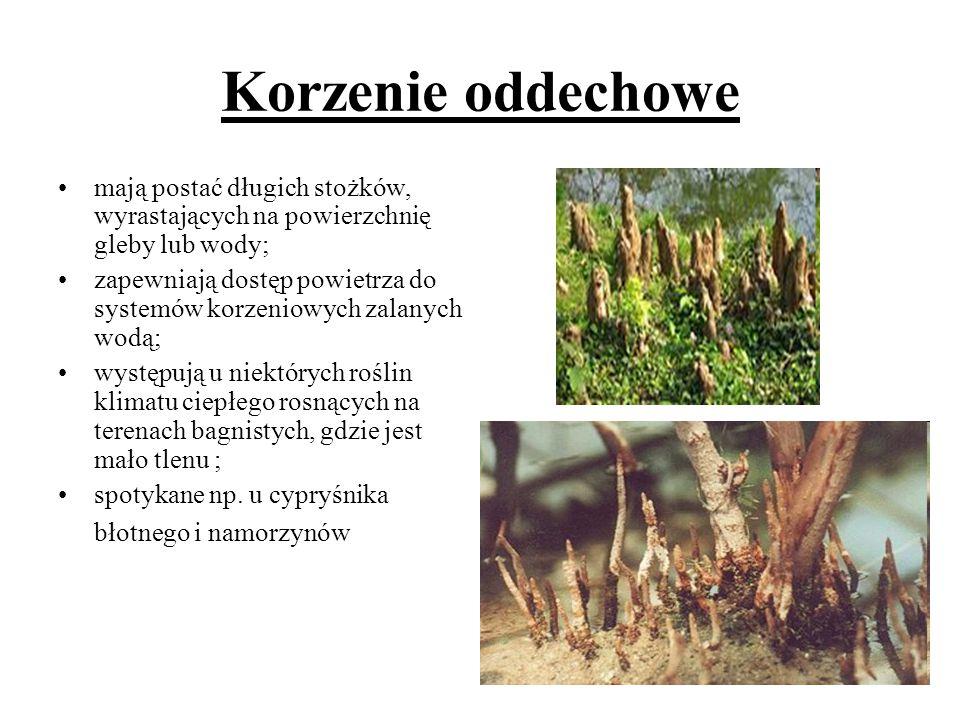 Korzenie oddechowe mają postać długich stożków, wyrastających na powierzchnię gleby lub wody; zapewniają dostęp powietrza do systemów korzeniowych zal