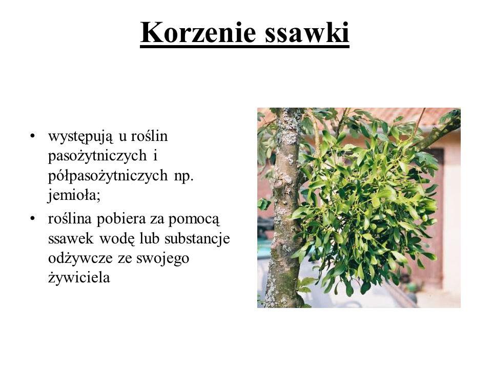 Korzenie ssawki występują u roślin pasożytniczych i półpasożytniczych np. jemioła; roślina pobiera za pomocą ssawek wodę lub substancje odżywcze ze sw