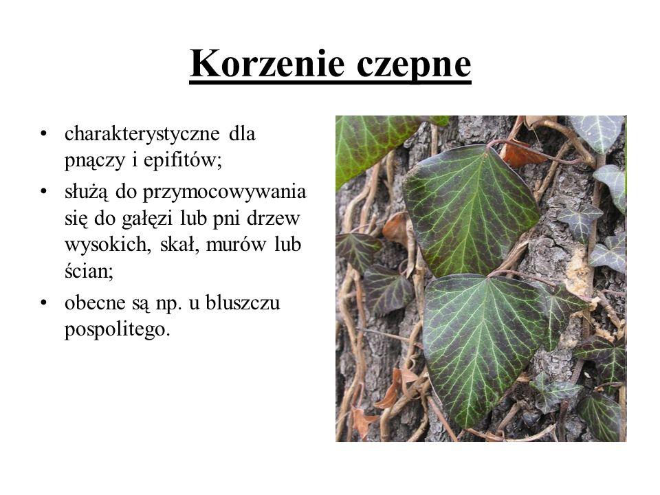 Korzenie czepne charakterystyczne dla pnączy i epifitów; służą do przymocowywania się do gałęzi lub pni drzew wysokich, skał, murów lub ścian; obecne
