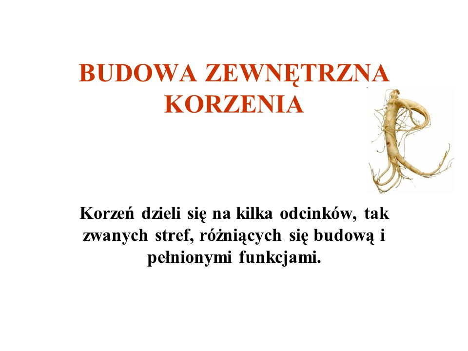 BUDOWA ZEWNĘTRZNA KORZENIA Korzeń dzieli się na kilka odcinków, tak zwanych stref, różniących się budową i pełnionymi funkcjami.