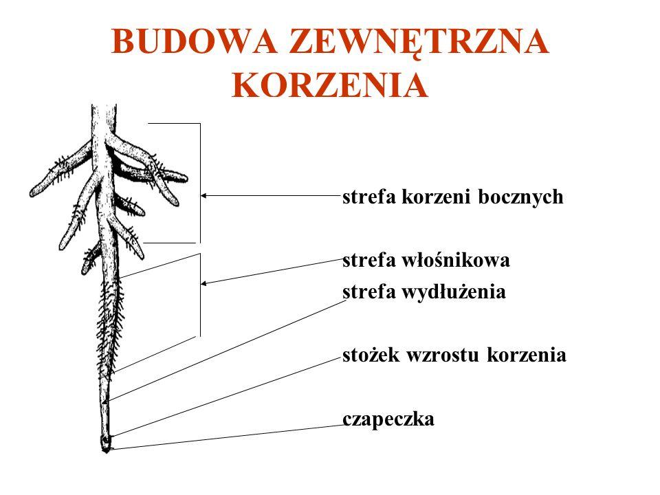 BUDOWA ZEWNĘTRZNA KORZENIA strefa korzeni bocznych strefa włośnikowa strefa wydłużenia stożek wzrostu korzenia czapeczka
