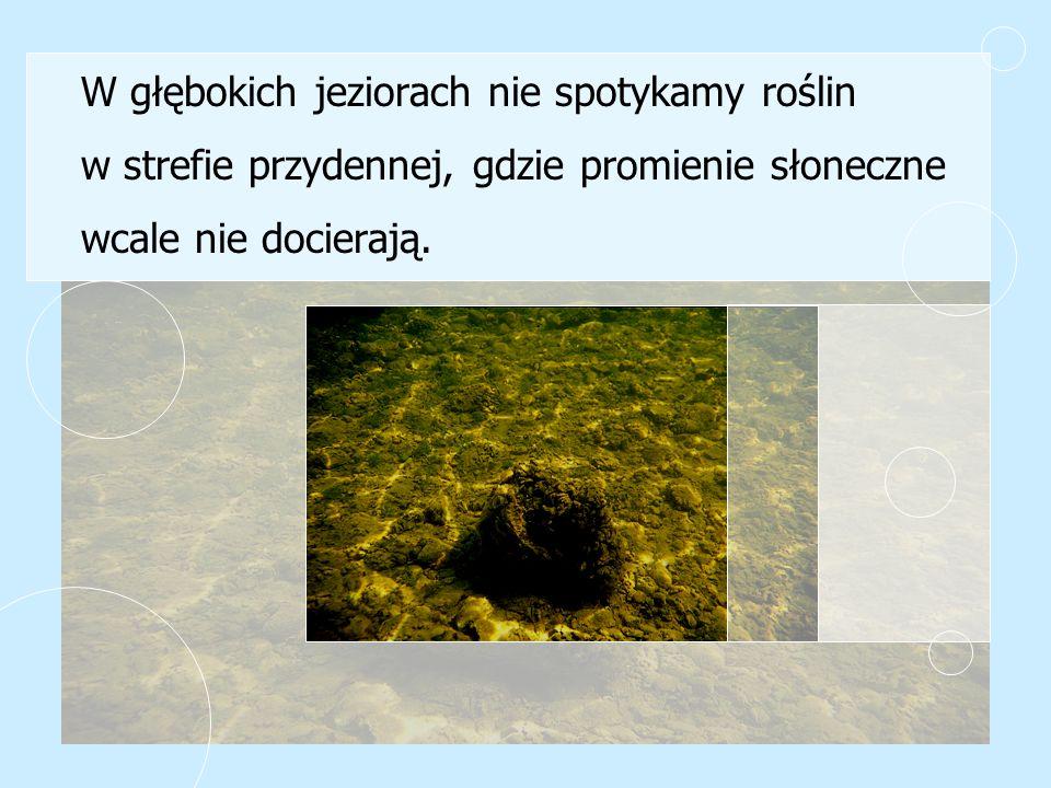 W głębokich jeziorach nie spotykamy roślin w strefie przydennej, gdzie promienie słoneczne wcale nie docierają.