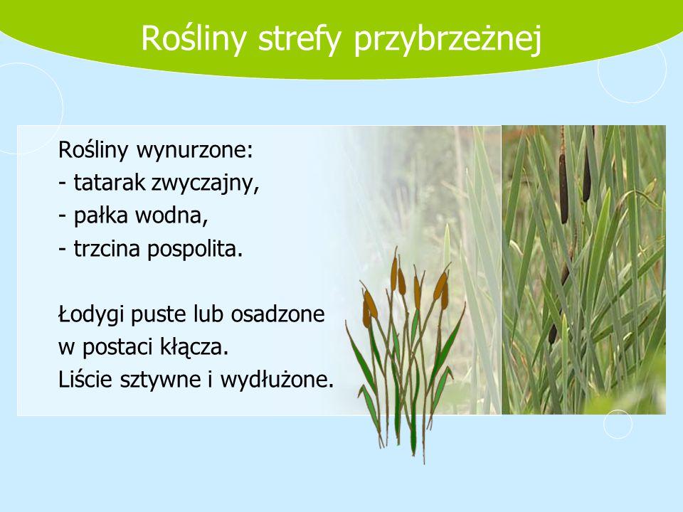 Rośliny strefy przybrzeżnej Rośliny wynurzone: - tatarak zwyczajny, - pałka wodna, - trzcina pospolita. Łodygi puste lub osadzone w postaci kłącza. Li