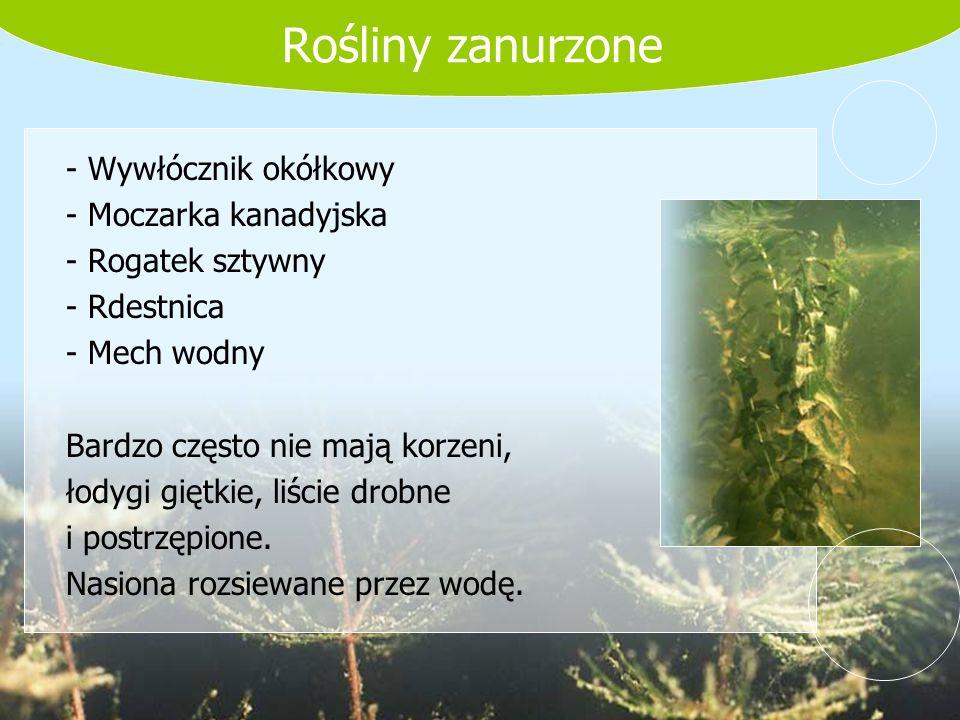 Rośliny zanurzone - Wywłócznik okółkowy - Moczarka kanadyjska - Rogatek sztywny - Rdestnica - Mech wodny Bardzo często nie mają korzeni, łodygi giętki