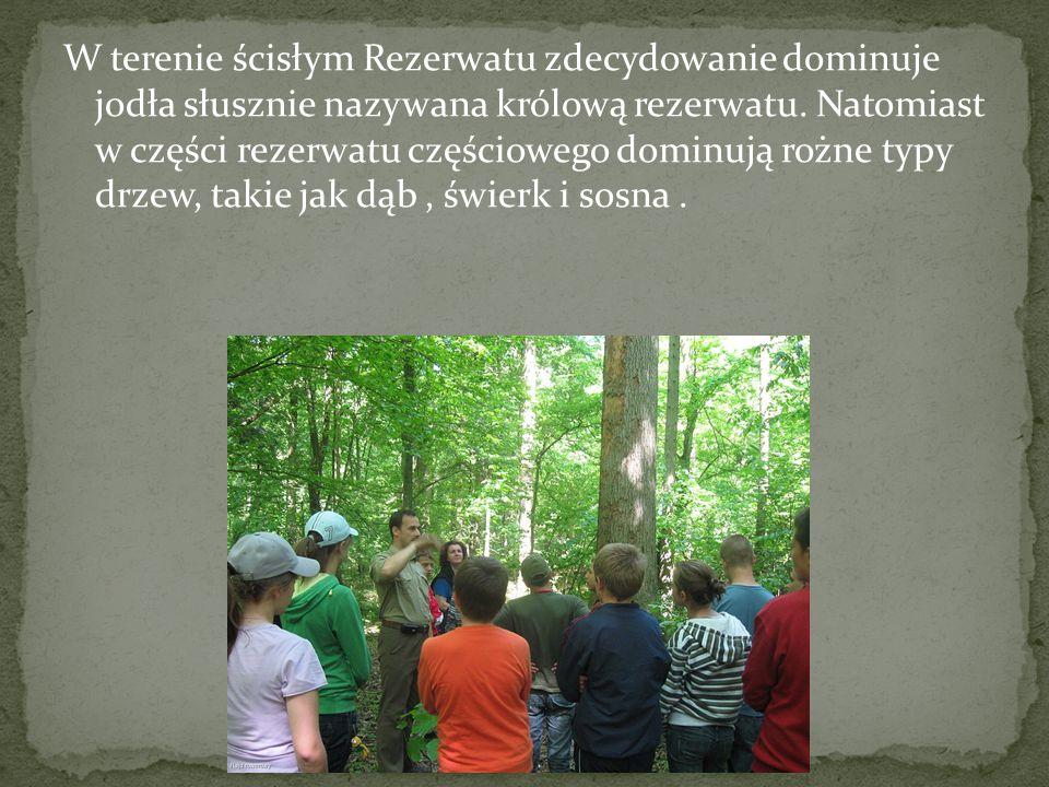 W terenie ścisłym Rezerwatu zdecydowanie dominuje jodła słusznie nazywana królową rezerwatu.