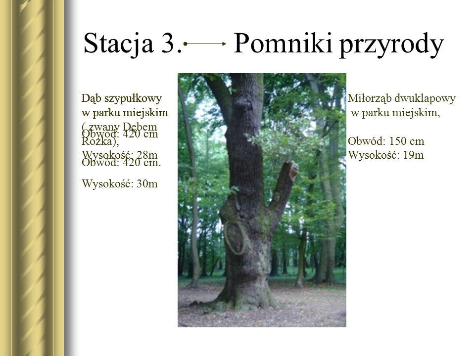 Stacja 3. Pomniki przyrody Miłorząb dwuklapowy w parku miejskim, Obwód: 150 cm Wysokość: 19m Dąb szypułkowy w parku miejskim Obwód: 420 cm Wysokość: 2