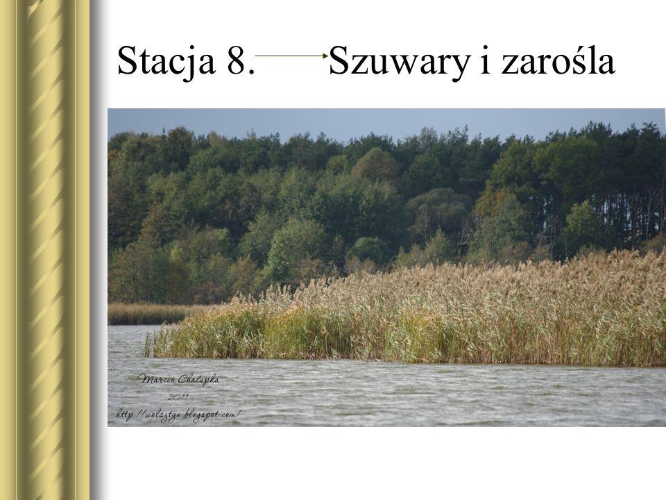 Stacja 8. Szuwary i zarośla W jeziorach możemy wyróżnić dwie główne strefy: Litoral Pelagial