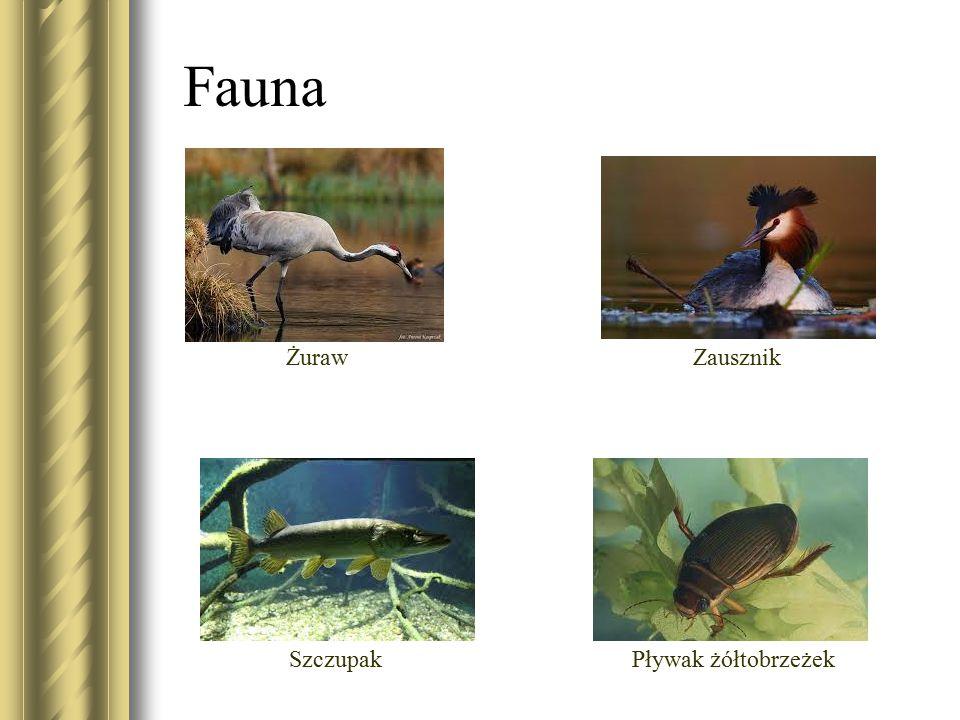 Fauna ŻurawZausznik SzczupakPływak żółtobrzeżek