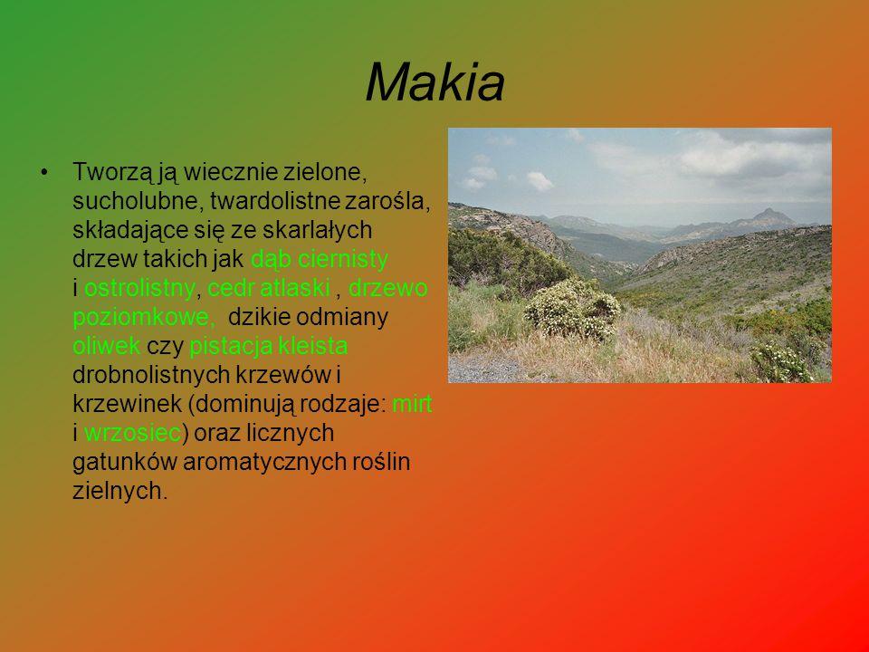 Makia Tworzą ją wiecznie zielone, sucholubne, twardolistne zarośla, składające się ze skarlałych drzew takich jak dąb ciernisty i ostrolistny, cedr at