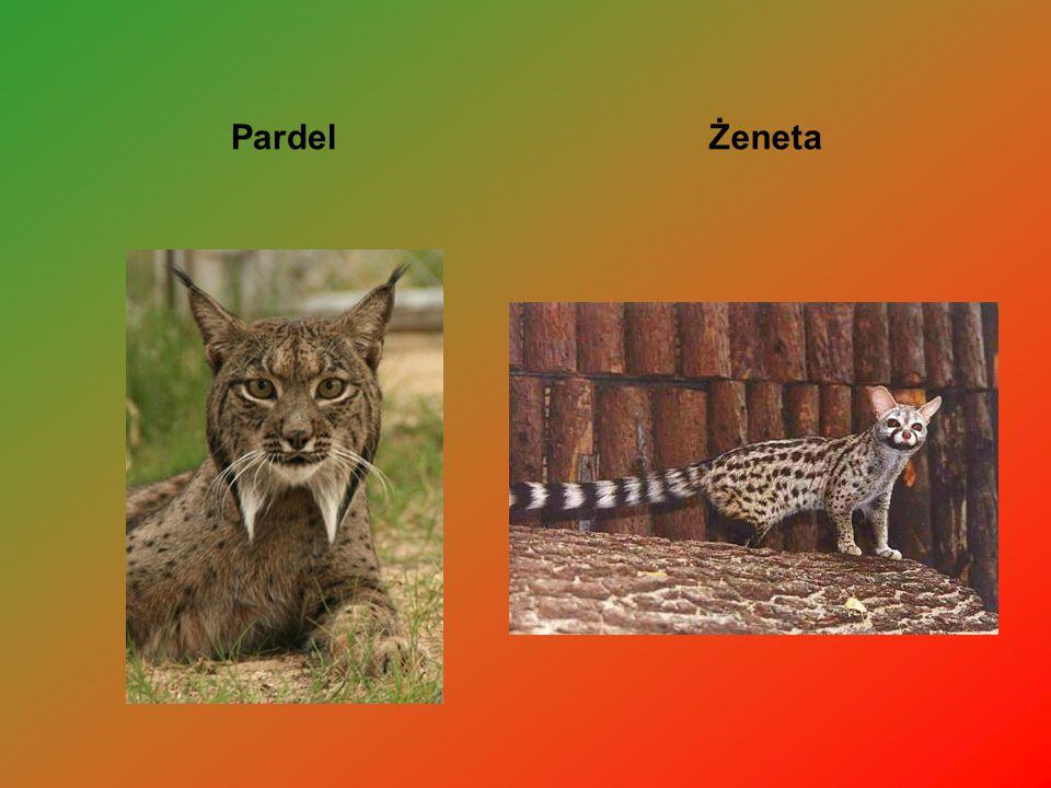 Pardel Żeneta