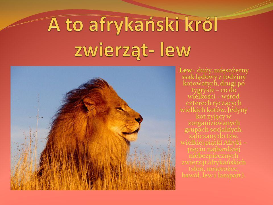 Lew– duży, mięsożerny ssak lądowy z rodziny kotowatych, drugi po tygrysie – co do wielkości – wśród czterech ryczących wielkich kotów. Jedyny kot żyją