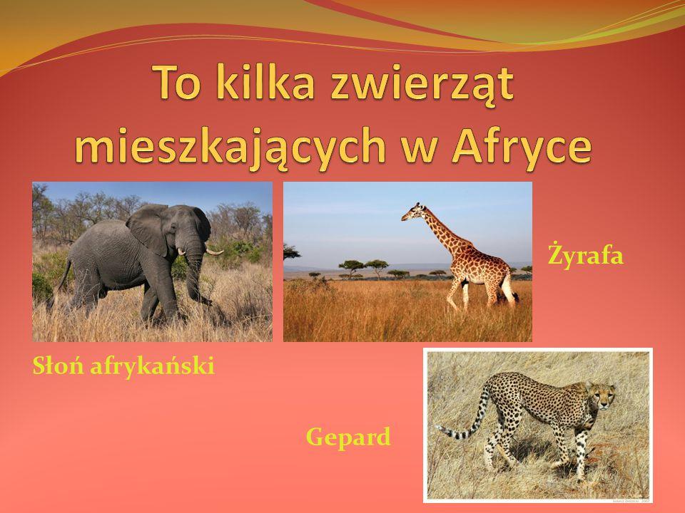 Słoń afrykański Gepard Żyrafa