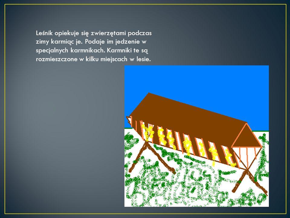 Leśnik opiekuje się zwierzętami podczas zimy karmiąc je. Podaje im jedzenie w specjalnych karmnikach. Karmniki te są rozmieszczone w kilku miejscach w