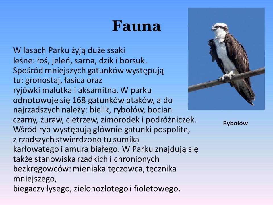 Fauna W lasach Parku żyją duże ssaki leśne: łoś, jeleń, sarna, dzik i borsuk. Spośród mniejszych gatunków występują tu: gronostaj, łasica oraz ryjówki