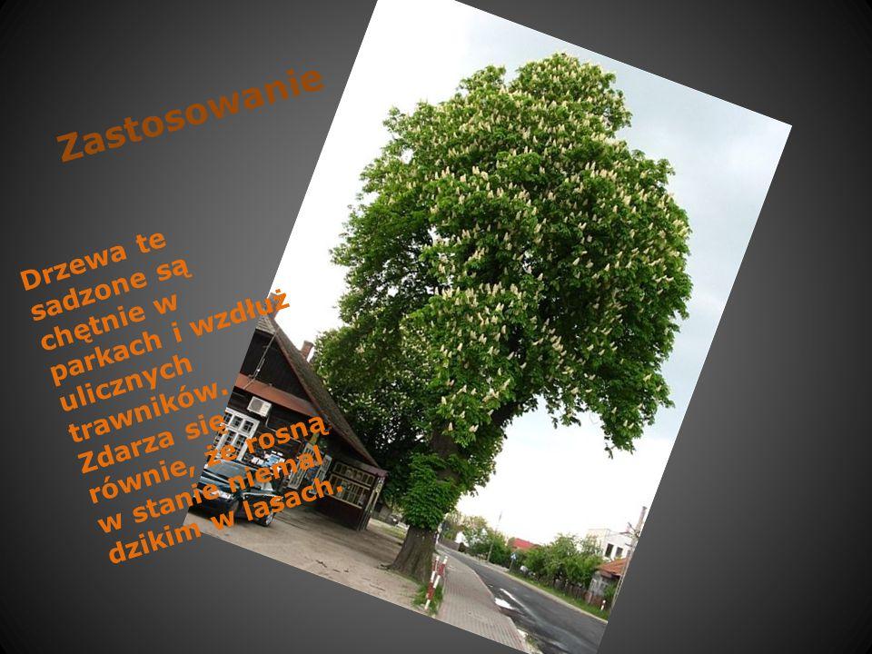 Abc kasztanowca … Kasztanowce białe wyrastają na duże i efektowne drzewa dorastające do ponad 25 m wysokości.