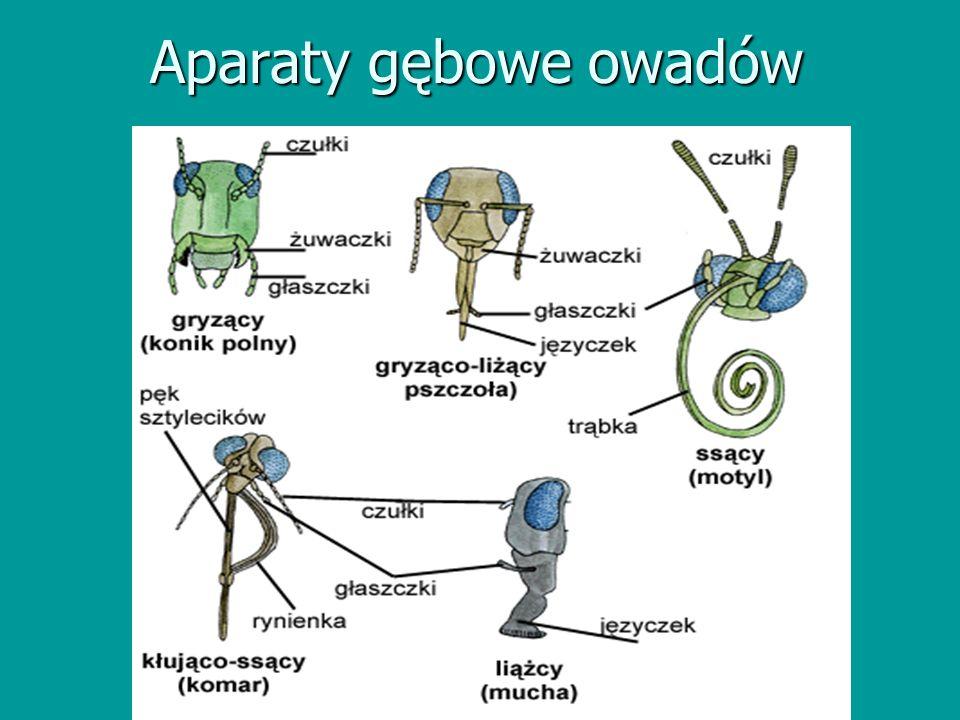 Aparaty gębowe owadów