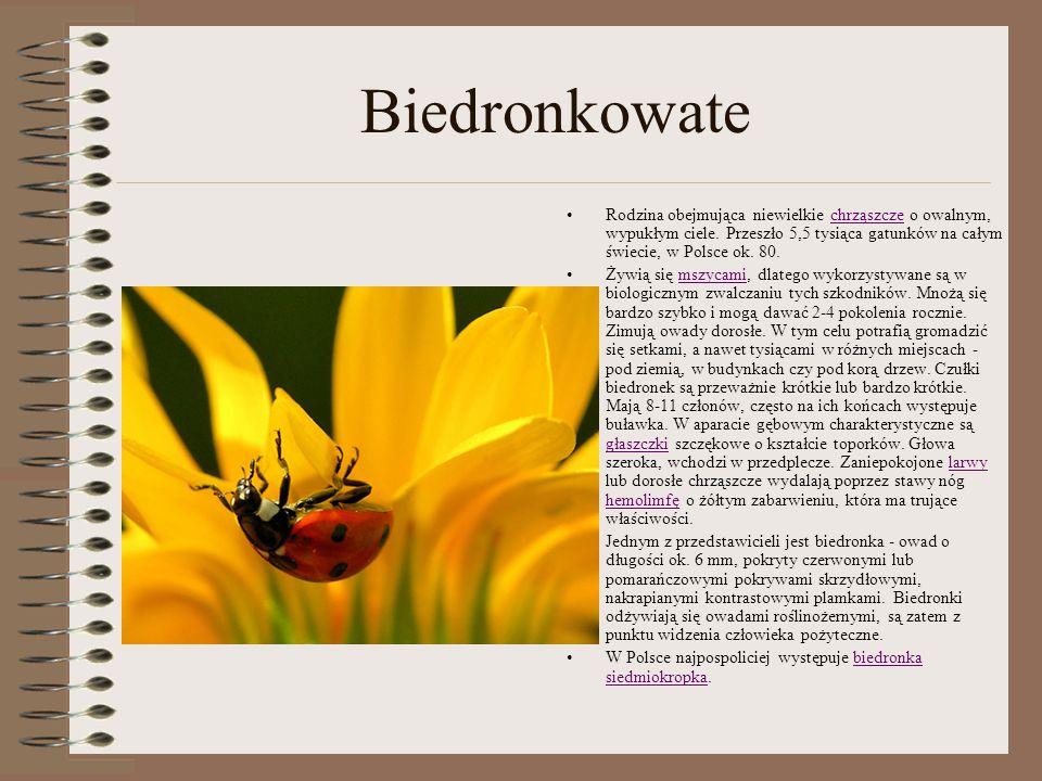 Biedronkowate Rodzina obejmująca niewielkie chrząszcze o owalnym, wypukłym ciele. Przeszło 5,5 tysiąca gatunków na całym świecie, w Polsce ok. 80.chrz