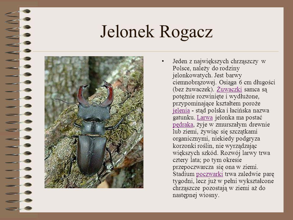 Jelonek Rogacz Jeden z największych chrząszczy w Polsce, należy do rodziny jelonkowatych. Jest barwy ciemnobrązowej. Osiąga 6 cm długości (bez żuwacze