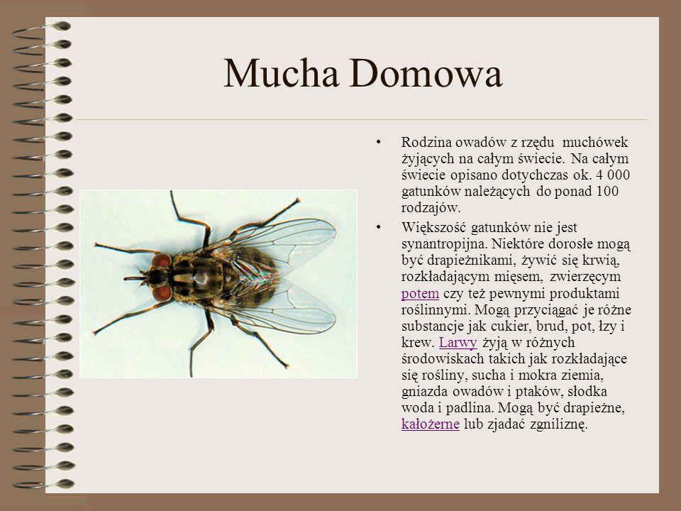 Mucha Domowa Rodzina owadów z rzędu muchówek żyjących na całym świecie. Na całym świecie opisano dotychczas ok. 4 000 gatunków należących do ponad 100