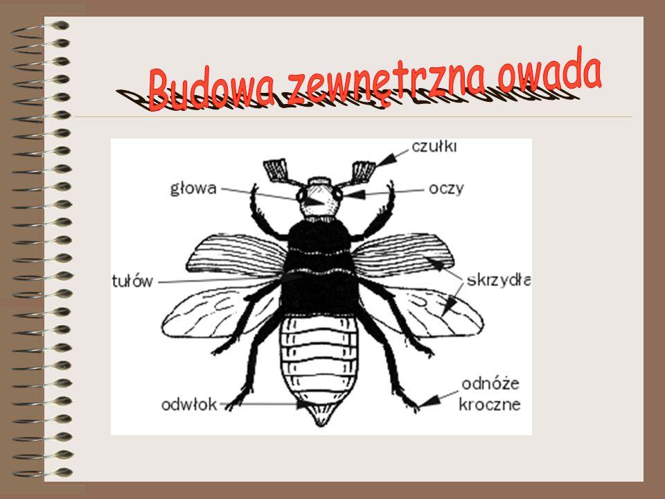 Typy odnóży: kroczne muchy pszczoły osy mrówki większość chrząszczy turkuć podjadek pływak żółtobrzeżek pluskolec pospolity prostoskrzydłe pchły niektóre gatunki chrząszczy pewne gatunki chrząszczy karaczany ważki