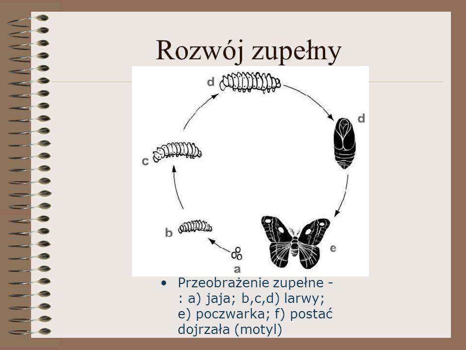 Rozwój zupełny Przeobrażenie zupełne - : a) jaja; b,c,d) larwy; e) poczwarka; f) postać dojrzała (motyl)