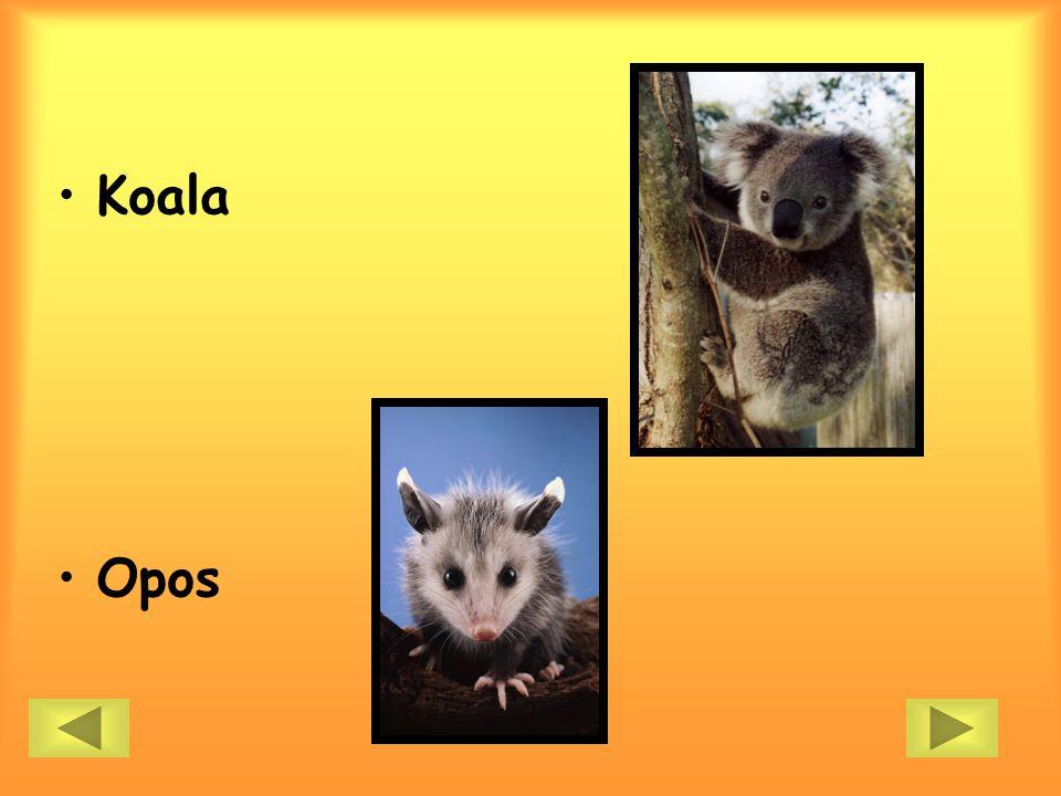 Koala Opos