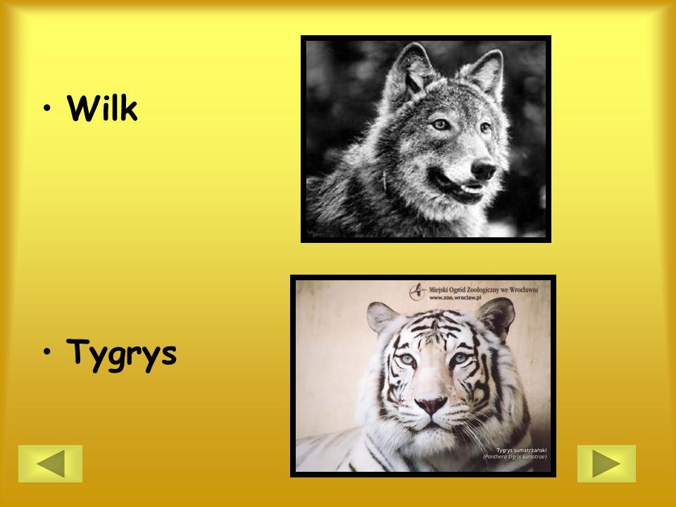 Wilk Tygrys