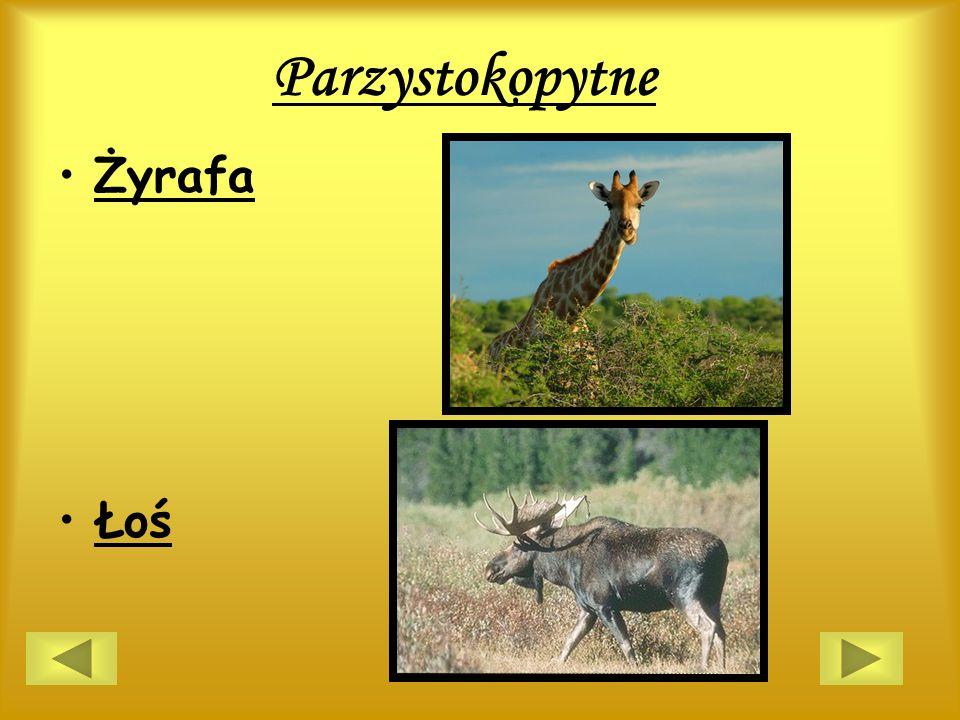 Parzystokopytne Żyrafa Łoś