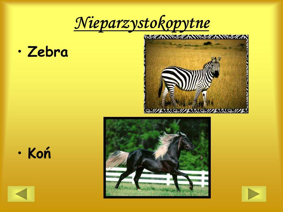 Nieparzystokopytne Zebra Koń