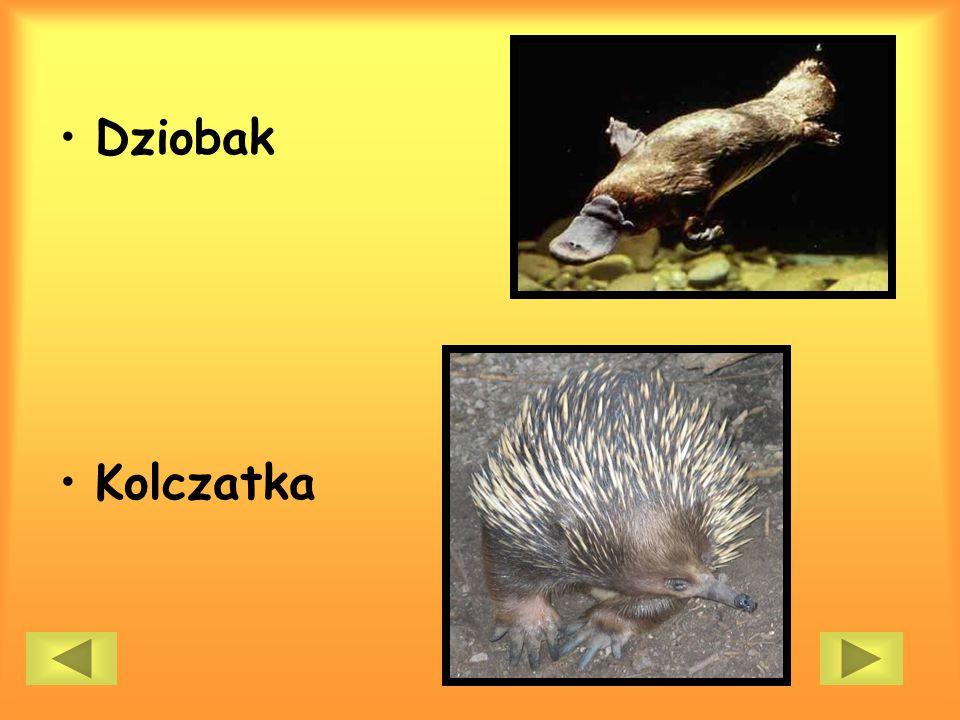 Dziobak Kolczatka
